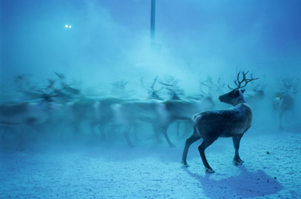 Reindeer, David Bacher