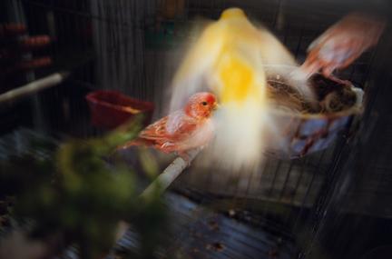 RNW.yellowbird.2008