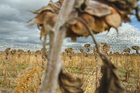 "©Rebecca Norris Webb, ""Blackbirds,"" from My Dakota (Radius, May 21, 2012)"